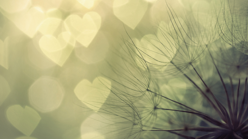 Dandelion seeds close-up and heart form bokeh